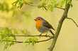 The European robin Erithacus rubecula in the spring