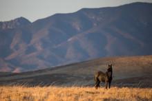 Wild Stallion In Nevada