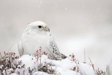 The Gyrfalcon Is A Bird Of Pre...