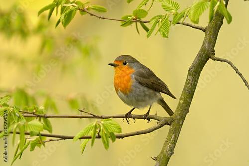 Ingelijste posters Vogel The European robin Erithacus rubecula in the spring