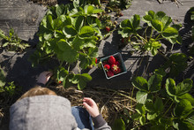 Overhead View Of Boy Picking Strawberries From Plants At Farm