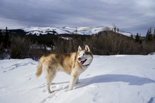 Dog Standing On Snow Covered M...