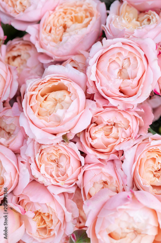 Beautiful blossoming roses of different shades of pink color. © sandipruel
