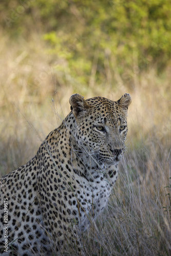 In de dag Luipaard Leopard looking away while sitting amidst plants on field at Sabie Park