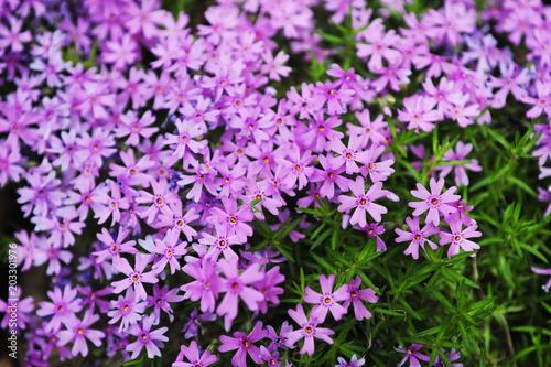 Foto op Canvas Azalea Group of Fairy Foxglove purple flowers with green leaves