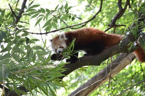 Fotografia Kleiner Panda