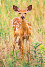 Fawn With Spots In Grass