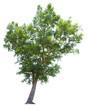 "Tree ""Shorea obtusa Wall. ex Blume"" isolated on white background"