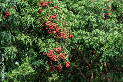 Ripe lychee fruits on tree.
