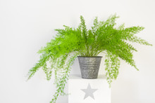 Beautiful Asparagus Fern In A Zinc Pot