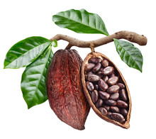 Open Cocoa Pod With Cocoa Seeds Which Is Hanging From The Branch. Conceptual Photo.