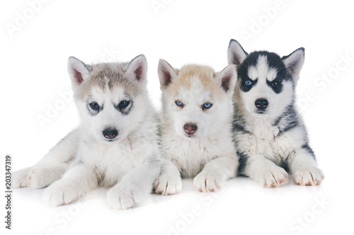 puppies siberian husky Canvas Print