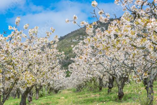 Cerezos en flor, valle de Caderechas,  España