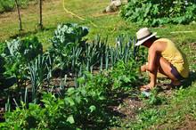 Récolte De Haricots Au Potager