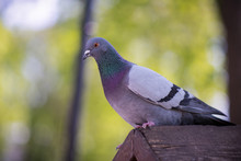 The Pigeon Sits On A Bird House
