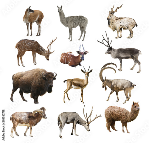 Mammals artiodactyl ruminant animals on white background isolated Canvas-taulu