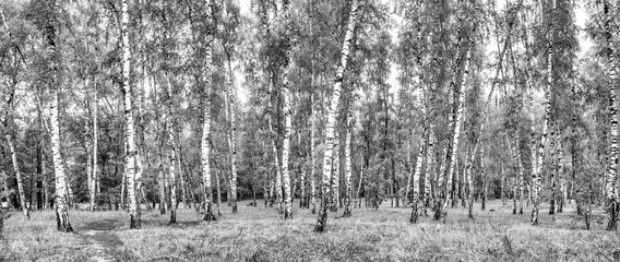 Fototapeta Brzoza Birch grove with a road on sunny summer day, summertime landscape, black-and-white panorama