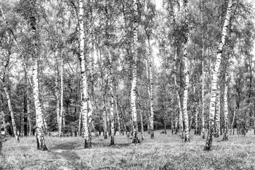 Panel Szklany Natura Birch grove with a road on sunny summer day, summertime landscape, black-and-white panorama