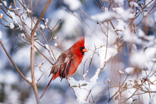 Mail Northern Cardinal On The Bright Winter Day