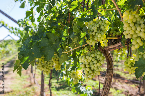 Spoed Foto op Canvas Wijngaard White wine grapes in the vineyard