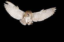 Barn Owl, In Flight Of Perchin...