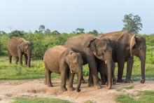 Group Of Asian Elephants In Ud...