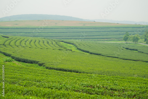 In de dag Pistache Tea Plantation, Oolong tea farm, green landscape background, green leaf