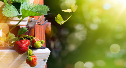 Summer fruit background; fresh  Strawberry on a green garden background