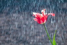 Flower Of Red And White Tulip Parrot Form On Background Of Rain Drops Tracks