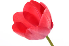 Single Red Tulip Isolated On W...