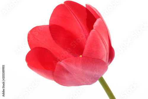 Photo  Single red tulip isolated on white background.