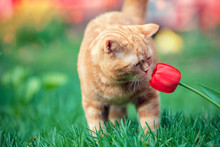 Little Red Kitten Sniffs Tulip Flower In A Garden In Spring