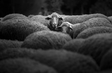 Portrait Of Family Sheep