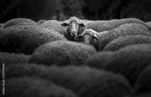 Fotobehang Schapen Portrait of family sheep