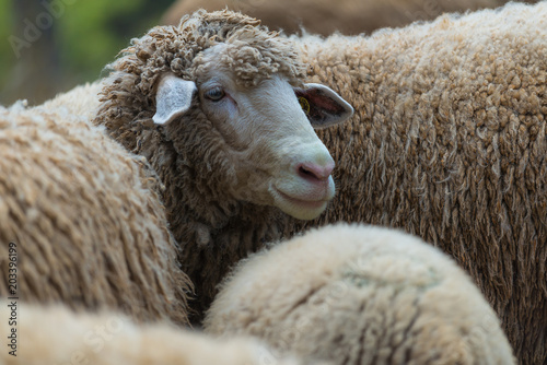Foto op Canvas Schapen Portrait of family sheep