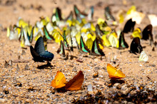 Many Kinds And Colors Of Butterflies Are Deriving Nourishment From Dissolved Minerals In Wet Sand Or Dirt.