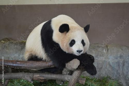 Deurstickers Panda アドベンチャーワールドのパンダ