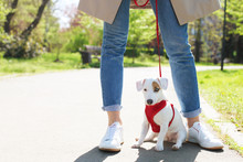 Young Small Breed Dog With Funny Brown Stain On Face. Portrait Of Cute Happy Jack Russel Terrier Doggy Outdoors, Walk In The Park.