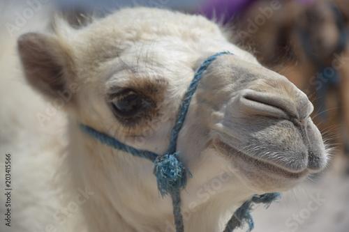 Foto op Plexiglas Kameel Biały wielbłąd