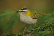 Firecrest´s Crown   (Regulus Ignicapillus) Sitting On The Branches. Singing Male, Firecrest