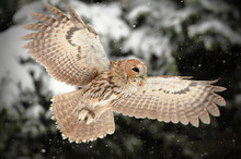 The Tawny Owl Or Brown Owl (St...
