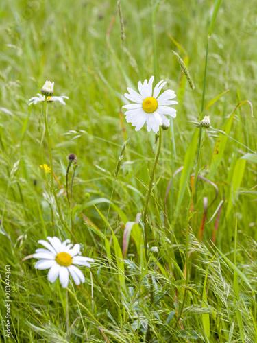 Papiers peints Marguerites Marguerites dans un champ