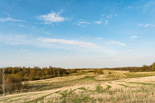 Tuinposter Blauw field after harvest, cut off stalks of cereals and sprouting green grass, blue sky with small clouds, spring time