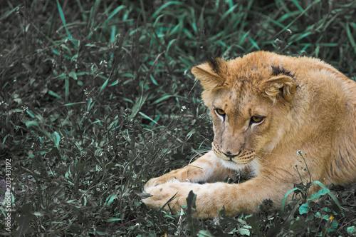 Foto op Plexiglas Leeuw portrait of a lion close-up
