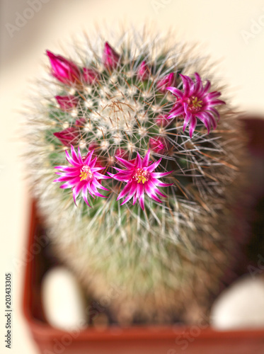 Cactus During Spring Flowering Pink Flowers On A Background Of