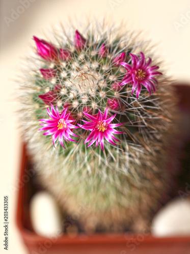 Cactus during spring flowering pink flowers on a background of cactus during spring flowering pink flowers on a background of thorns mightylinksfo