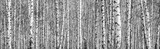 Fototapeta Las - Birch grove on a sunny spring day, landscape banner, huge panorama, black-and-white