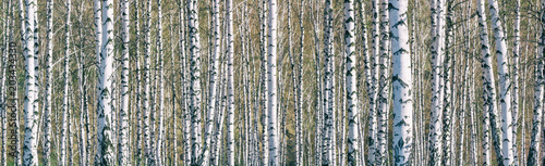 Birch grove on a sunny spring day, landscape banner, huge panorama