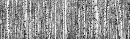 Fotobehang Donkergrijs Birch grove on a sunny spring day, landscape banner, huge panorama, black-and-white