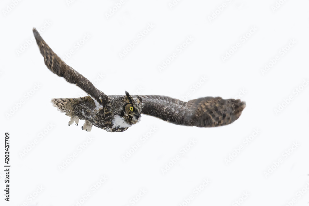 great horned owl in flight isolated on white